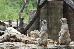 Dois Meercats sobre durante a vista de algo Imagem de Stock Royalty Free