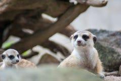 Dois Meerkat que fica junto, o mais novo estão olhando outro, fotografia de stock