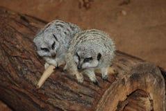 Dois meerkats Fotografia de Stock
