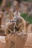 Dois meerkats Fotos de Stock Royalty Free