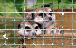 Dois meerkats tristes estão sentando-se em uma gaiola em um jardim zoológico do contato foto de stock royalty free