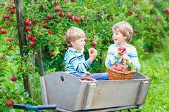 Dois meninos felizes adoráveis das crianças que escolhem e que comem maçãs vermelhas na exploração agrícola orgânica Foto de Stock