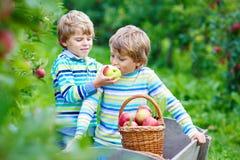 Dois meninos felizes adoráveis das crianças que escolhem e que comem maçãs vermelhas na exploração agrícola orgânica Imagens de Stock Royalty Free