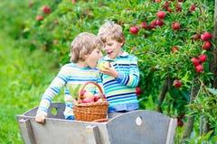 Dois meninos felizes adoráveis das crianças que escolhem e que comem maçãs vermelhas na exploração agrícola orgânica Imagem de Stock