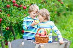 Dois meninos felizes adoráveis das crianças que escolhem e que comem maçãs vermelhas na exploração agrícola orgânica Foto de Stock Royalty Free