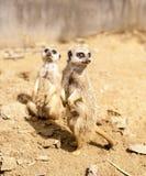 Dois meros gatos que estão no olhar para fora Imagens de Stock Royalty Free