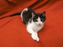 Dois meses de gato Imagem de Stock