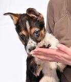 Dois meses três velhos coloriram o filhote de cachorro nas mãos fêmeas imagem de stock royalty free