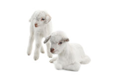 Dois miúdos da cabra imagens de stock