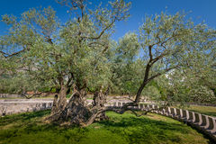 Dois mil anos de oliveira velha Imagem de Stock Royalty Free