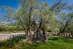 Dois mil anos de oliveira velha Fotos de Stock