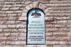 Dois mil anos de sinal velho da oliveira Fotos de Stock