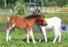 Dois mini cavalos Falabella que joga no prado, na baía e em branco, sele Fotos de Stock Royalty Free
