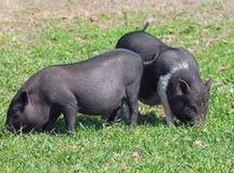 Dois mini porcos no pasto Fotografia de Stock