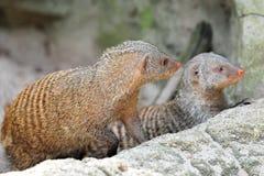 Dois mongooses curiosos fotos de stock