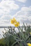 Dois narcisos amarelos selvagens Fotos de Stock Royalty Free