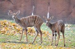 Dois nyalas fêmeas Imagem de Stock Royalty Free