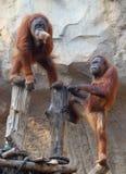 Dois orangotango Utan Imagens de Stock