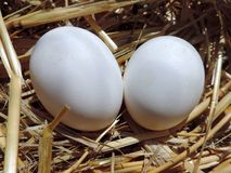 Dois ovos brancos frescos da galinha Foto de Stock Royalty Free