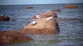 Dois pássaros adultos de uma gaivota e de um pássaro de bebê em uma pedra no mar vídeos de arquivo
