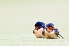 Dois pássaros azuis bonitos Imagens de Stock