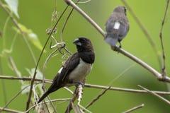 Dois pássaros bonitos em Sri Lanka imagem de stock
