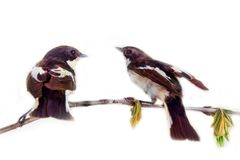 Dois pássaros bonitos no galho bonito da mola Imagem de Stock Royalty Free