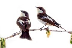 Dois pássaros bonitos no galho bonito da mola Fotos de Stock Royalty Free