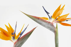 Dois pássaros de paraíso Fotos de Stock