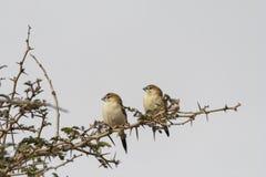 Dois pássaros de prata indianos da conta que empoleiram-se no galho espinhoso que olha lateralmente com fundo branco imagem de stock