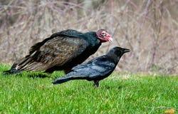 Dois pássaros do cadáver, um abutre e um corvo Foto de Stock