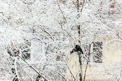 Dois pássaros do corvo sentam-se em uma árvore nevado na perspectiva de fotografia de stock royalty free