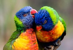 Dois pássaros do lorikeet Fotos de Stock Royalty Free