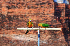 Dois pássaros do papagaio de Sun Conure Fotografia de Stock