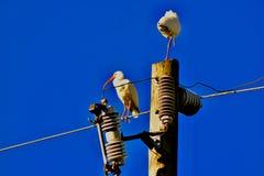 Dois pássaros dos íbis que penduram para fora em um polo elétrico foto de stock