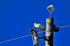 Dois pássaros dos íbis que penduram para fora em um polo elétrico fotos de stock