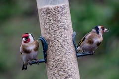 Dois pássaros em um alimentador Fotografia de Stock Royalty Free