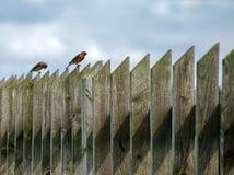 Dois pássaros em uma cerca de madeira Imagem de Stock Royalty Free