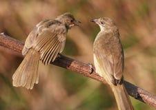 Dois pássaros na filial de árvore. 59-9 jpg fotos de stock