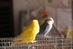 Dois pássaros na gaiola Fotografia de Stock Royalty Free