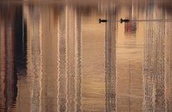 Dois pássaros na superfície da água do lago da cidade fotografia de stock