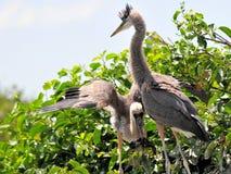 Dois pássaros novos da garça-real de grande azul no ninho Imagens de Stock Royalty Free
