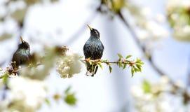 Dois pássaros pretos em um ramo de uma árvore de cereja Imagem de Stock