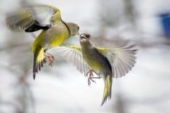 Dois pássaros que lutam em voo foto de stock