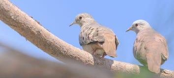 Dois pássaros que olham para trás aterraram em um ramo de árvore Imagem de Stock