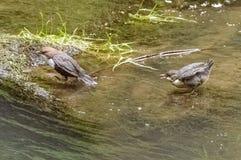 Dois pássaros que sentam-se em uma rocha coberta em parte no musgo e coberta em parte na água Imagem de Stock