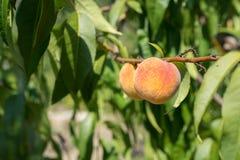 Dois pêssegos em um ramo fotos de stock