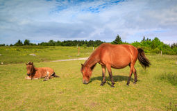 Dois pôneis selvagens VA Grayson Highlands State Park foto de stock royalty free