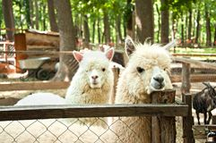 Dois pacos do Vicugna das alpacas Imagens de Stock