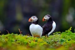 Dois papagaio-do-mar Foto de Stock